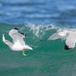 Seagull Eating Menhaden