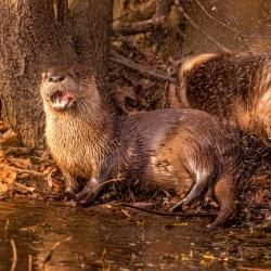 River Otters Showing teeth