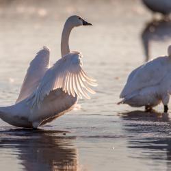 Tundra Swans Preening