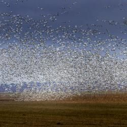 Flock of Snow Geese in the field