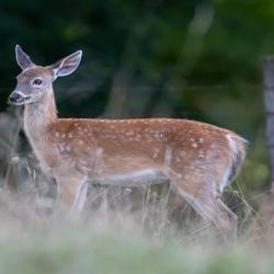 Baby Fawn Deer
