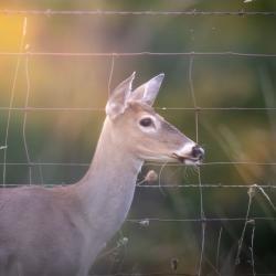 Doe Deer