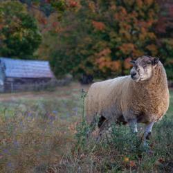 Male Sheep