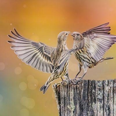 Pine Siskins fighting