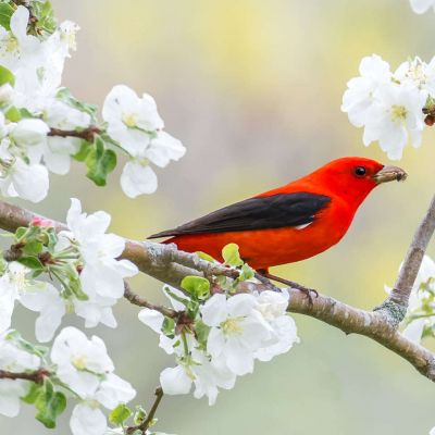 Scarlet Tanager Apple Blossoms