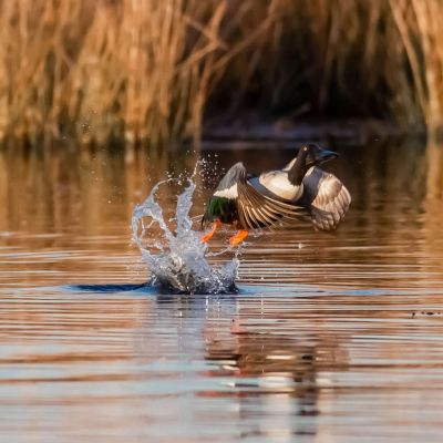 Northern Shoveler Drake Duck