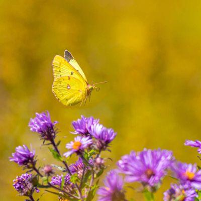 Orange Sulphur Butterfly
