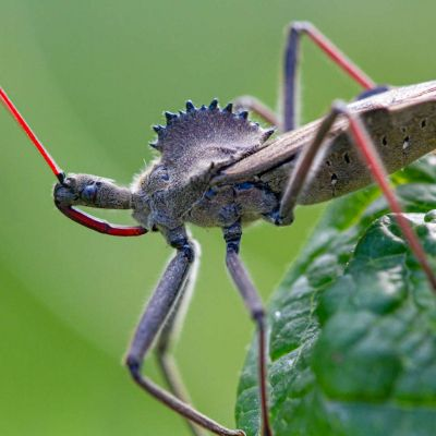 Assassin Beetle