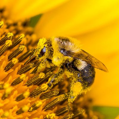 Beaver Dam Farm Sunflower Bumble Bee