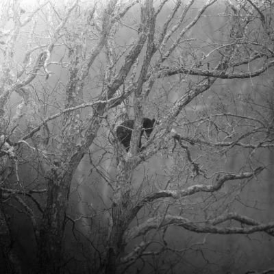 Black Bear in Tree