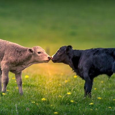Baby Calves Meeting