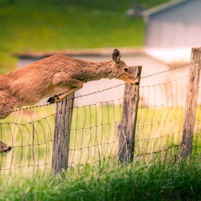 Doe Deer Jumping Fence