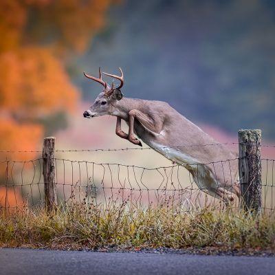 Buck Deer leaping fence in fall season