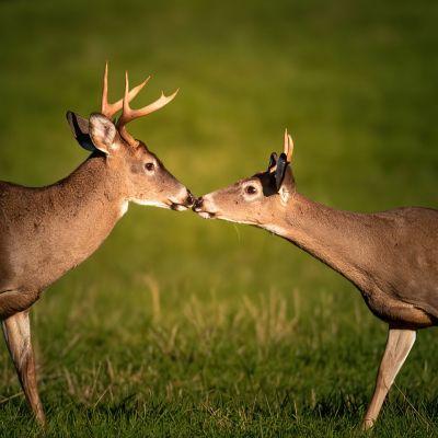 Deer Buck-Father Son Reunion