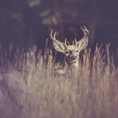 Big buck deer in field of tall grass