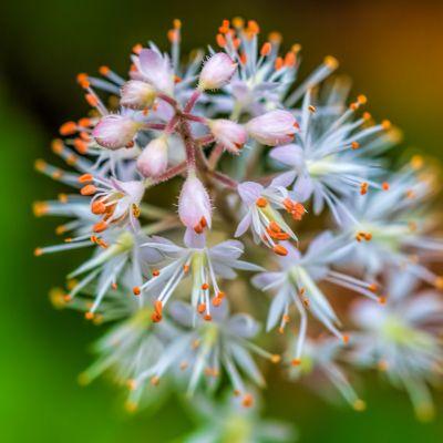 Heartleaf Foamflower