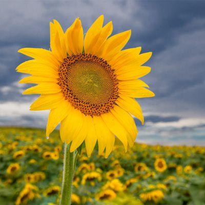 Sunflower Beaver Dam Farm Virginia