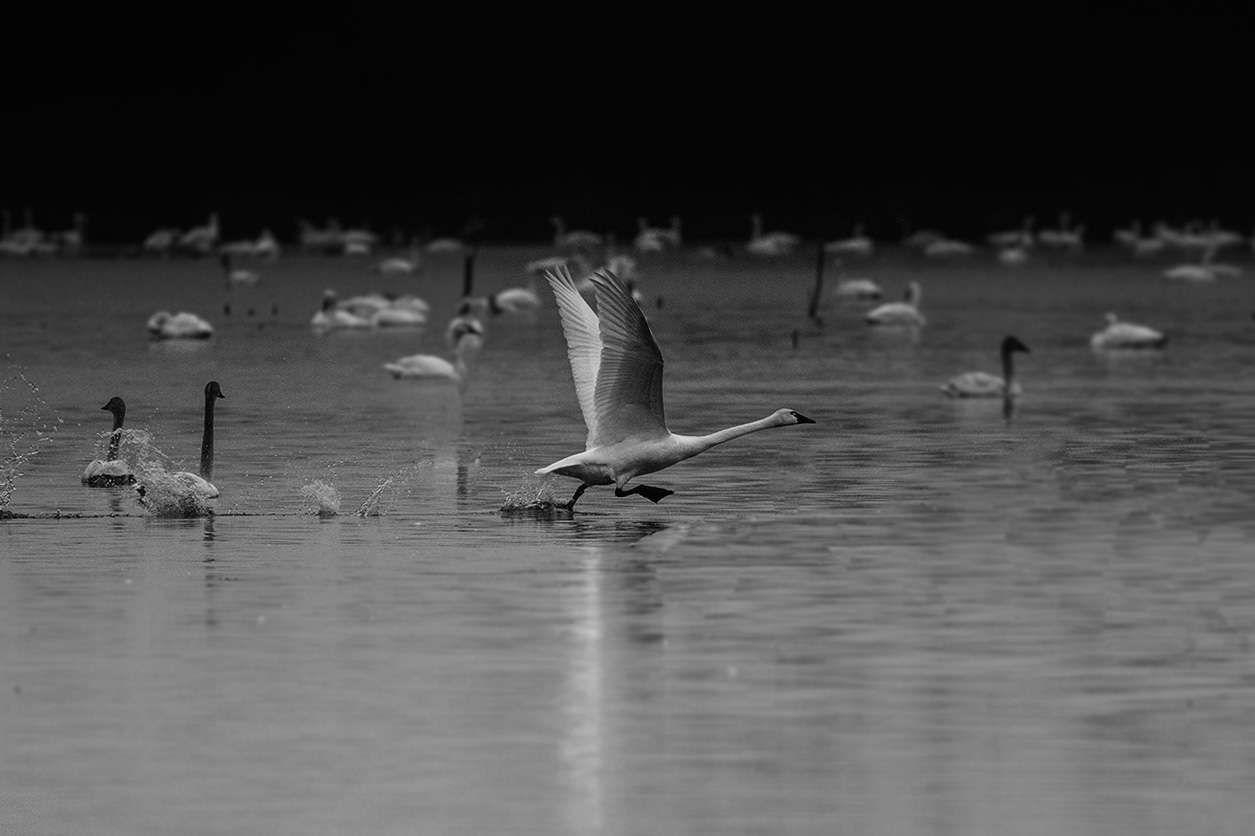 Pungo Lake Tundra Swans Migration