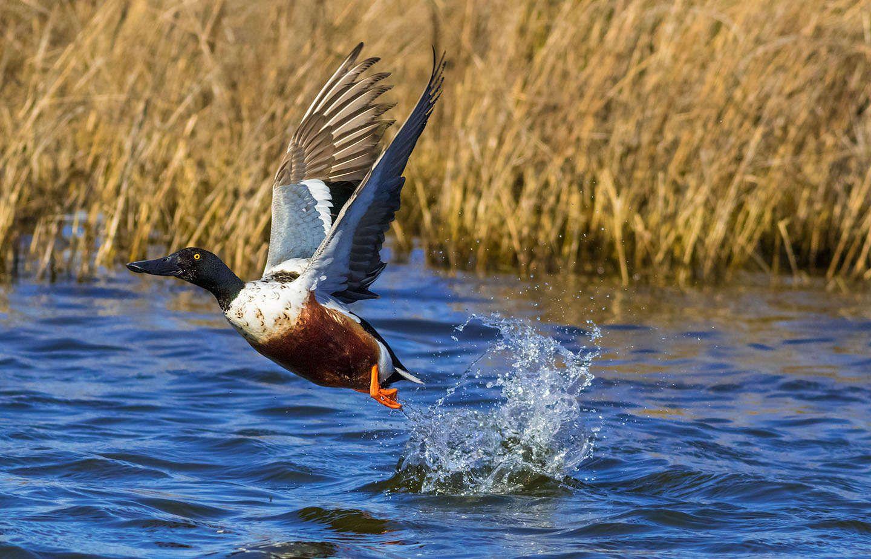 Pea Island Wildlife Refuge Bird Photography