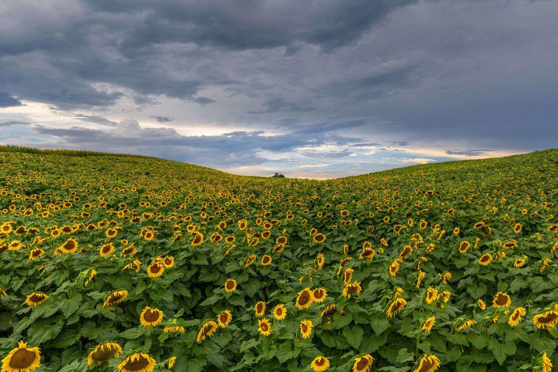 Sunflower Festival Beaver Dam Farm VA
