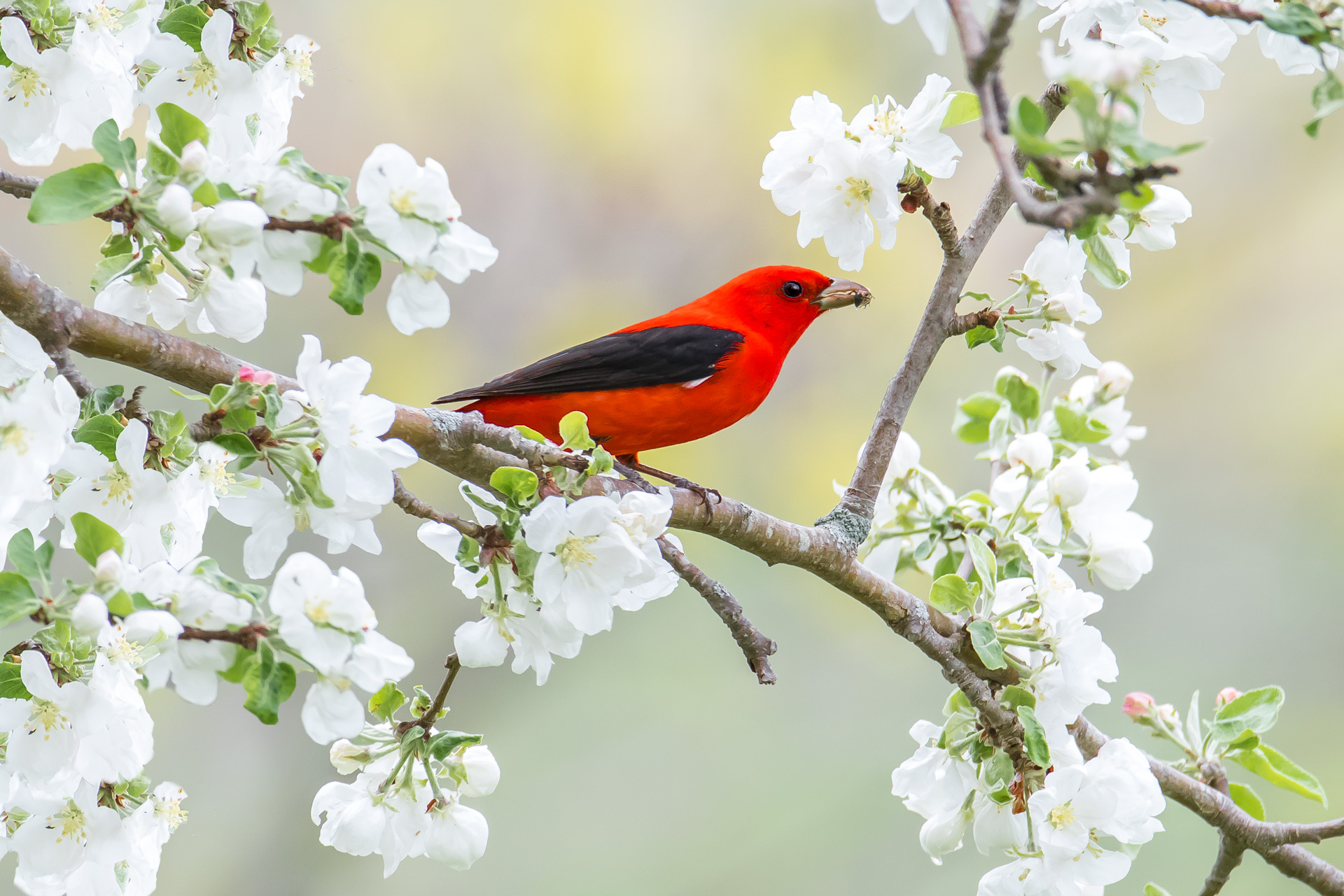 Our Scarlet Tanager Photo in Birds & Blooms Magazine